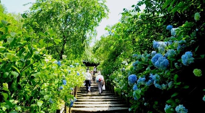 北鎌倉の紫陽花(アジサイ)チェック2016:そろそろ見頃の明月院