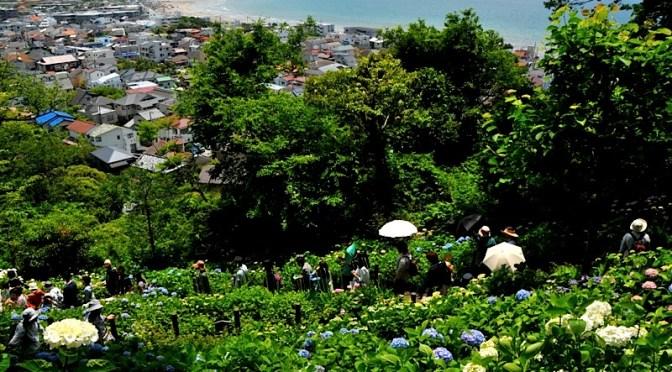 鎌倉の紫陽花(アジサイ)チェック2016:御霊神社〜鮮やかな長谷寺へ
