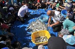 江ノ島片瀬海岸西浜で地引き網でサバやイシダイ幼魚