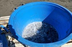 江ノ島片瀬海岸西浜で地引き網の生シラス
