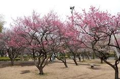 藤沢の梅花チェック円行公園