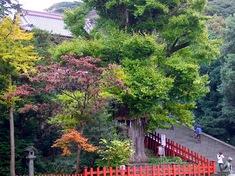 鎌倉の紅葉スポット鶴岡八幡宮の大銀杏