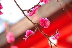鎌倉荏柄天神社の梅花