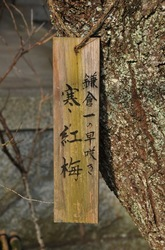 鎌倉荏柄天神社の寒紅梅