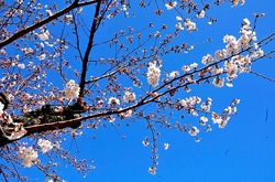 北鎌倉円覚寺の桜