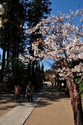 北鎌倉円覚寺境内の桜
