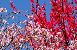 北鎌倉東慶寺の桜と桃