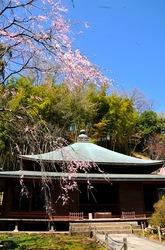 北鎌倉東慶寺の桜