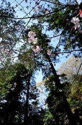北鎌倉東慶寺の桜と杉