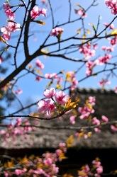北鎌倉浄智寺の桜