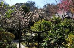 北鎌倉の梅花チェック光則寺の境内
