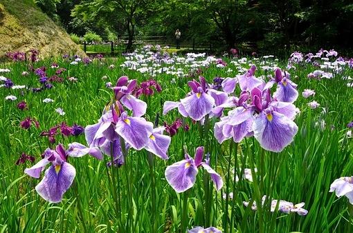 北鎌倉の本堂裏庭園の菖蒲畑