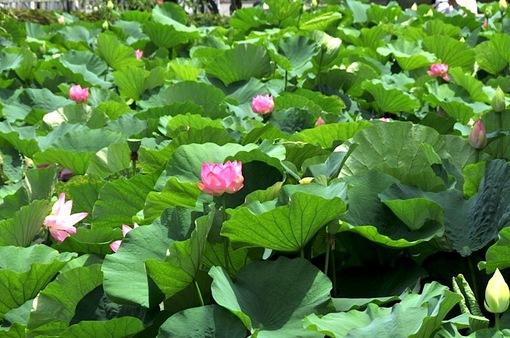 鎌倉鶴岡八幡宮の源平池の蓮(ハス)の花が見頃