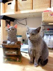 ロシアンブルーの猫ティナとウェルカムキャット