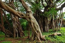 湘南藤沢から五島列島へ宇久島の小浜のアコウの巨樹