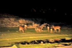湘南藤沢から五島列島へ若松島の鹿