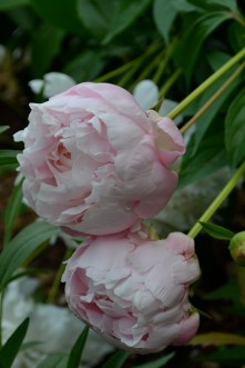 My peonies are all old farm-house rescues. I've no idea about their variety.