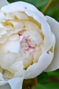 The peonies are not...quite... open yet
