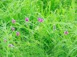 Purple Praire Clover (Dalea purpurea) in a bed of mixed native grasses