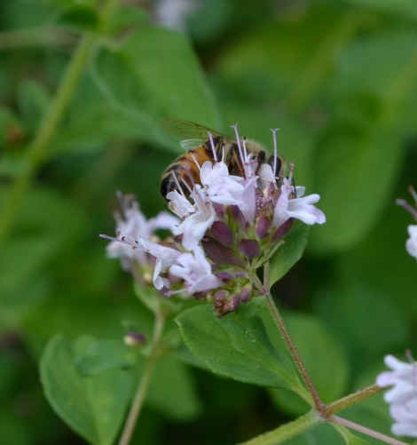 The oregano flowers have been dancing under the weight of pollinators. Honey Bees are noticeable few this year.