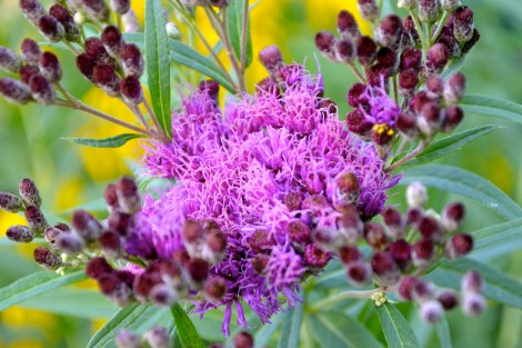 Ironweed in the prairie