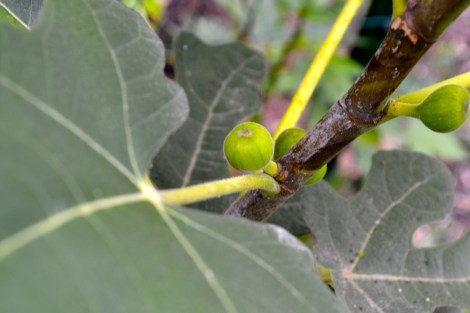 Second fig crop starting...