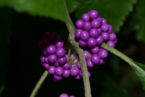 Beauteous Beauty Berry doing its thang!