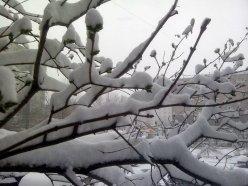 Сирень в снегу