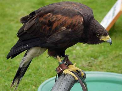 Charlie-the-Male-Harris-Hawk