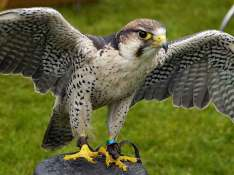 Larry-the-Lanner-Hawk