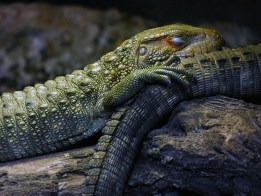 Caiman Lizards