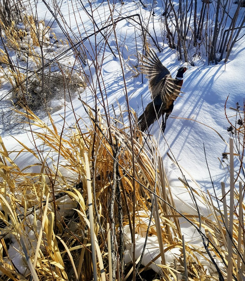 action shot of a beautiful wild rooster flushing from his snowy hide in southern Saskatchewan
