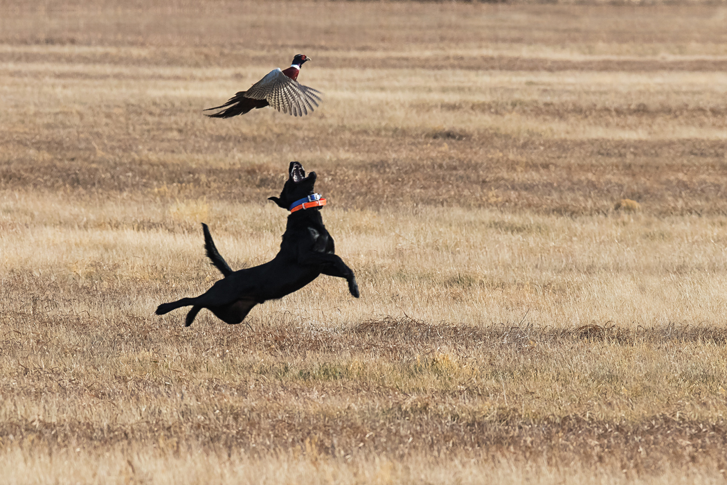 An athletic attempt to fetch a pheasant