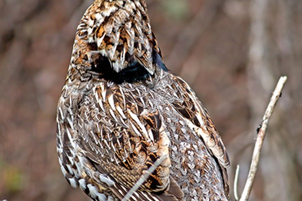 New Jersey Cancels Grouse Season