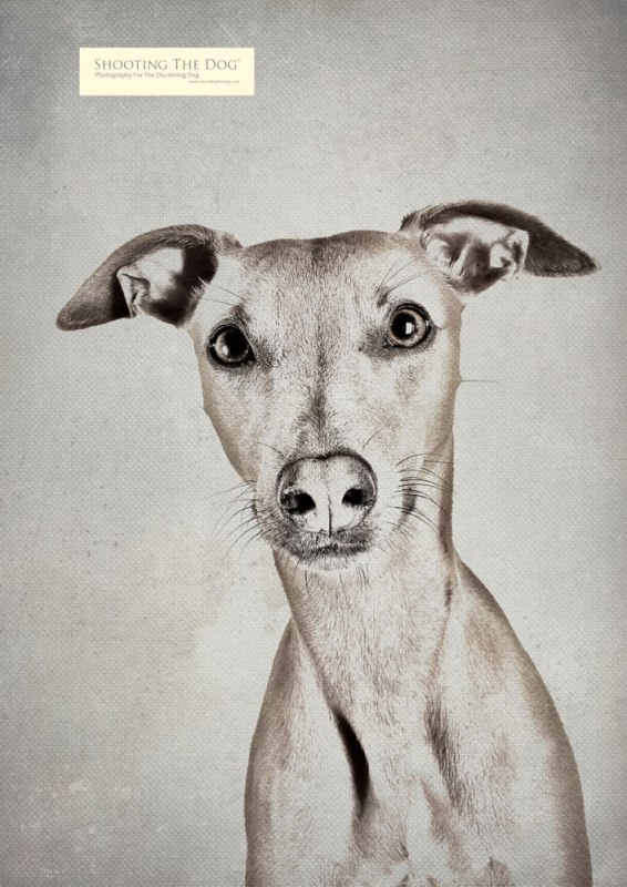 pencil sketch - dog