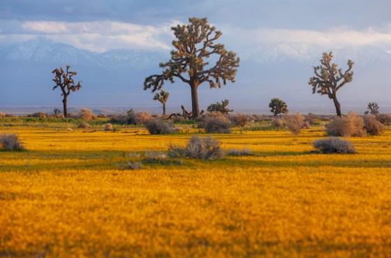Mojave Wildflowers 2019
