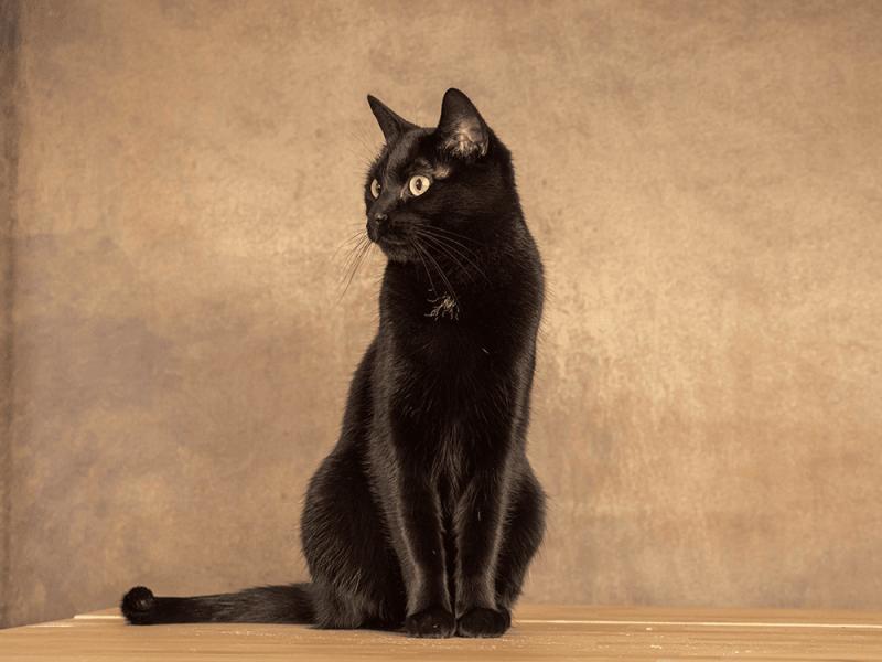 Schwarze Katze sitzend vor hellbraunem Hintergrund