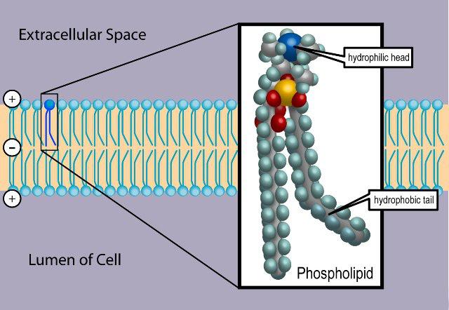 """Phospholipide wie Phosphatidylserin, Phosphatidylcholin und Phosphatidylinositol übernehmen wichtige Funktionen im Körper: Sie sind Bestandteil der Zellmembranen und grenzen damit das Innere der Zelle von seiner Umgebung ab. Darüber hinaus spielen einige von ihnen bei der Signaltransdunktion (""""Übermittlung"""") und der Synthese von Prostaglandinen eine wichtige Rolle. (Bildquelle: Wikimedia / Ties van Brussels)"""