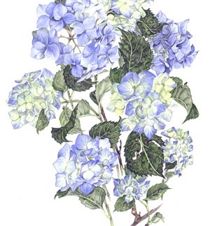 Blue Hydrangeas A3 (Large) embroidery panel, ready to embroider