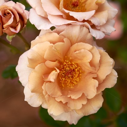 Garden grown Julia's Rose fully open. Available Excitations Online shop.