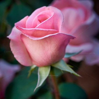 Macro photo of Flamingo Rose, a beautiful cut flower variety from the Excitations online shop.