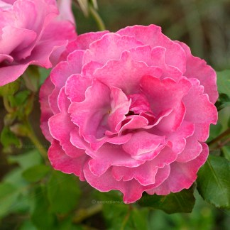 Mauve rose Angel Face in fulll, bloom.