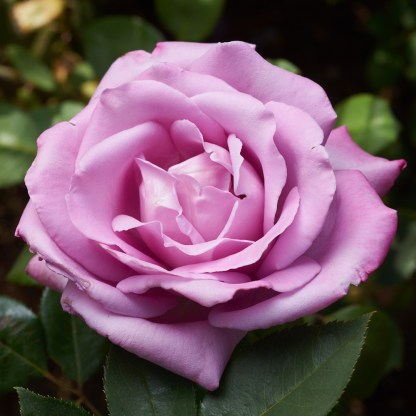 close-up rose Blue Moon at Excitations online shop, Sunraysia.