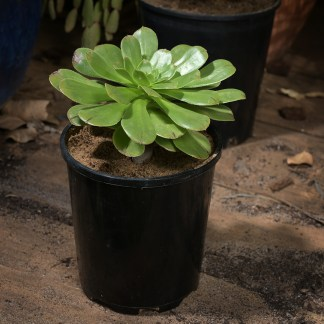 Aeonium arboretum in 100mm pot for sale at Excitations online shop.