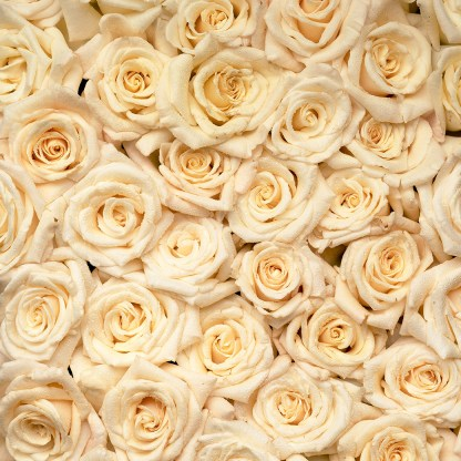 Colour photo of tightly pack mass of Champagner roses advertising bare rooted roses for sale online at Excitations online shop