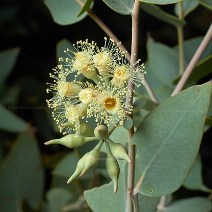 Curly Mallee flower close-up at Excitations online shop.