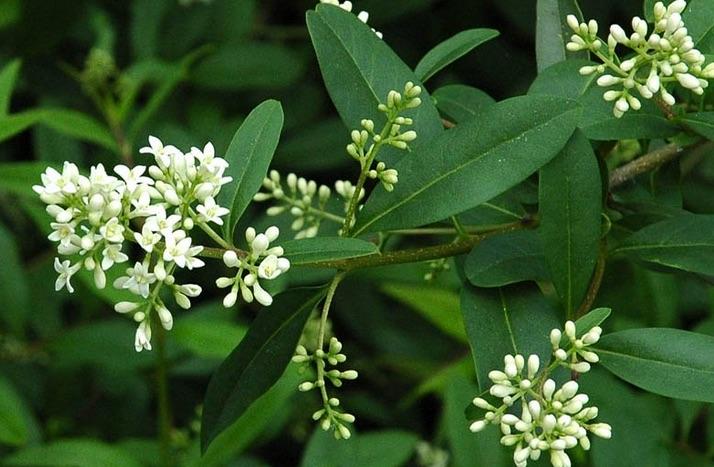 Ligustrum vulgare  Flora 2000  Vivaio Online Bologna