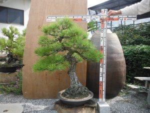 盆栽H85㎝・W100㎝_15000