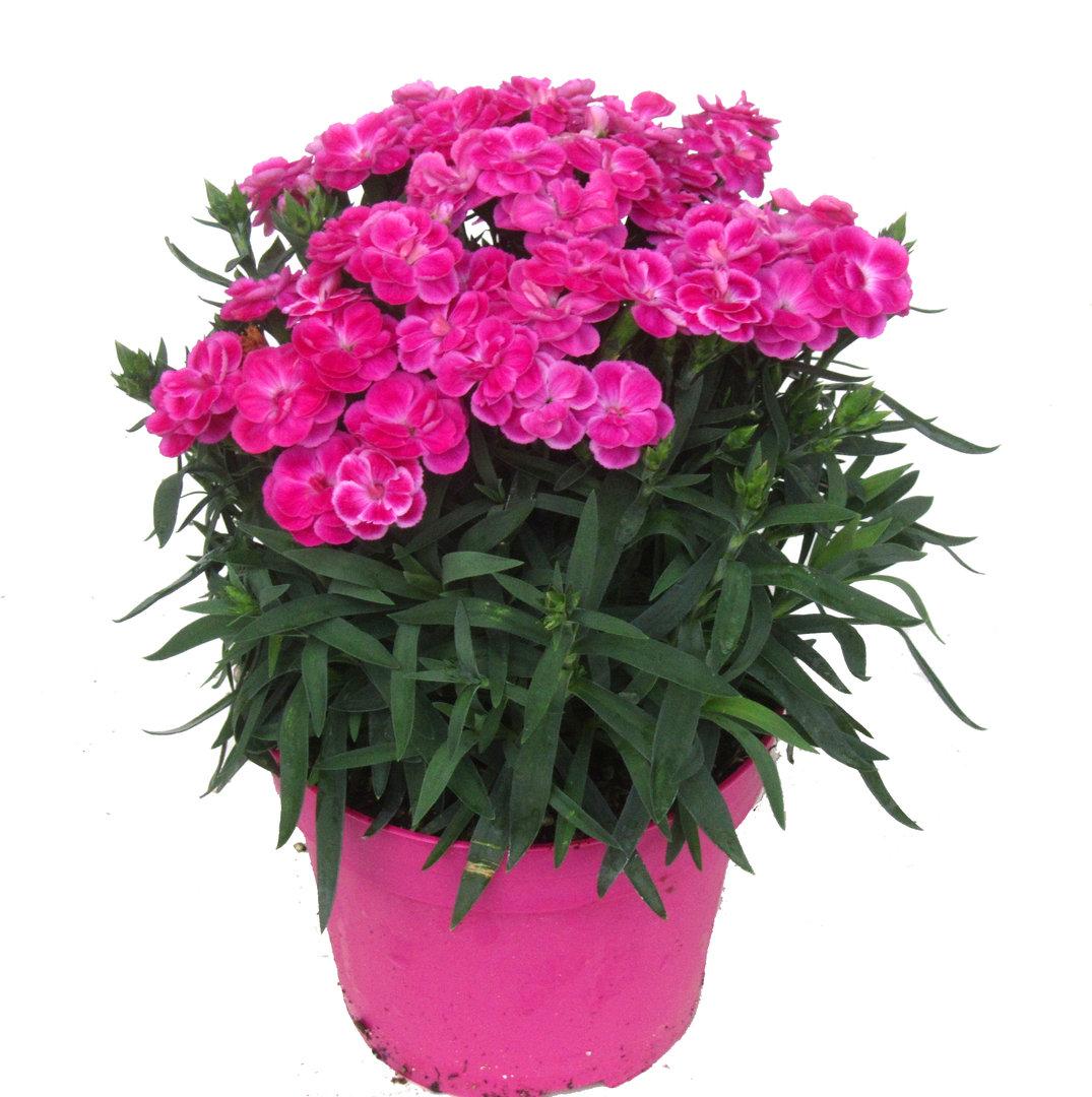 Dianthus caryophyllus Peman  Harros Pflanzenwelt kaufen