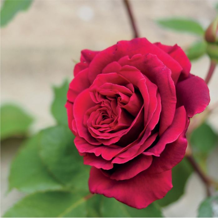 12/05/2015· a rose garden can be as simple as a single rose specimen interspersed with a few other plants, or an elaborate landscape filled with multiple rose species, hardscape and arbors. Roses And Rose Gardens